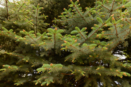 Fir branches with young needles and cones Zdjęcie Seryjne