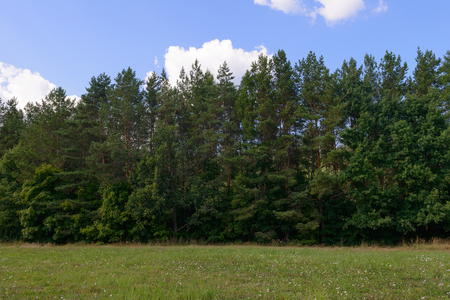summer landscape with green glade and pine forest