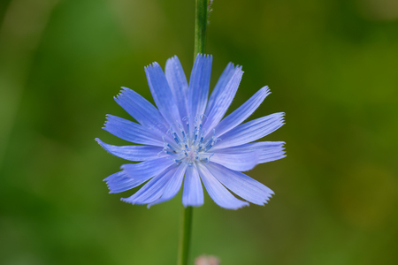 Bright blue flower of chicory on a green thin stalk