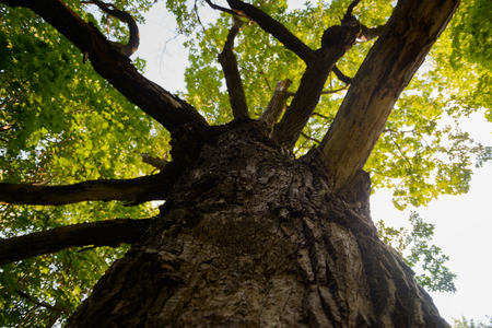 Big old green oak. Bottom view of the sky.