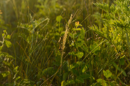 Two dragonflies sit on a blade of grass in a field on a summer evening. Zdjęcie Seryjne
