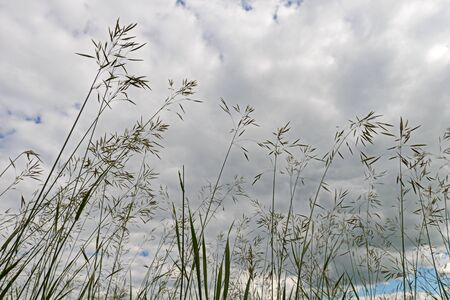 Grasses against the sky with clouds. Bottom view.