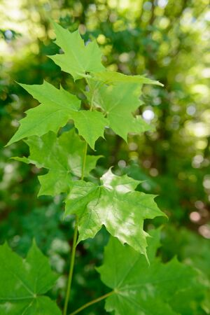 Young maple sprout with green leaves in the forest