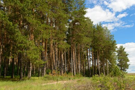 Pine forest outskirts on a sunny summer day
