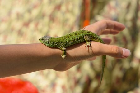 Little green lizard crawling on the arm