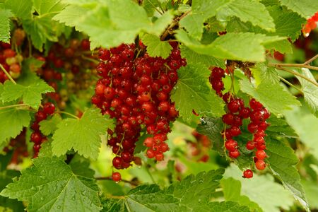 Bright red red currant fruit on green branches with water drops after rain. Zdjęcie Seryjne
