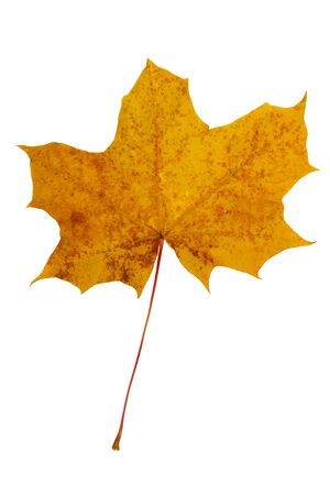 Bright yellow maple leaf on a white background