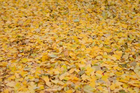 solid carpet of yellow fallen leaves on the ground