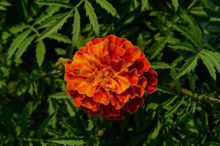 Bright orange marigold flower with yellow border