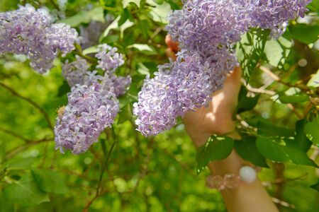 Beautiful lilac inflorescences in hand in the summer garden