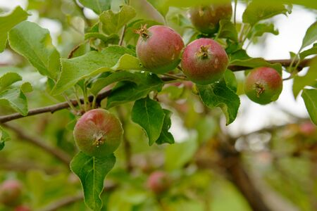 Young unripe apples on branches with drops after rain Zdjęcie Seryjne