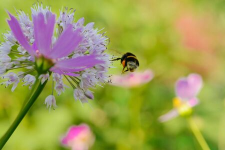 A bee collects nectar from a flower on a green meadow Banco de Imagens
