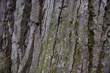 Texture of old oak bark with lichen Zdjęcie Seryjne
