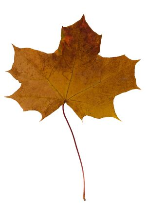 Dried maple leaf brown on a white background