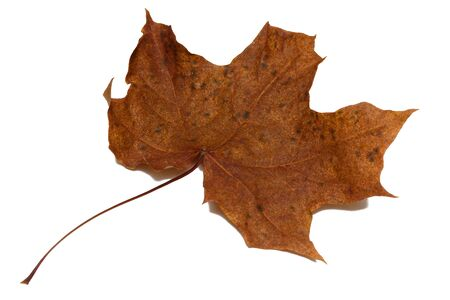 Dried maple leaf brown on a white background with shadow