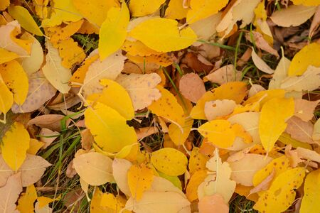 Bright yellow and brown fallen leaves lie on the ground. Zdjęcie Seryjne