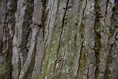 The surface of the Old oak bark with lichen