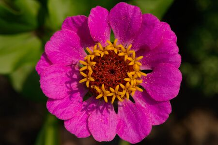 Brightly purple zinnia flower in the garden. View from above.