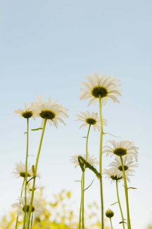 Several daisies in a clearing against the blue sky. View from below. Stok Fotoğraf
