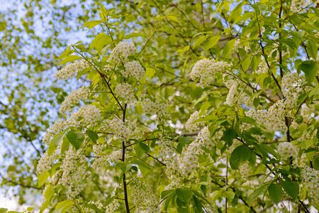 Blooming bird cherry branches on a background of blue sky with clouds Stock Photo
