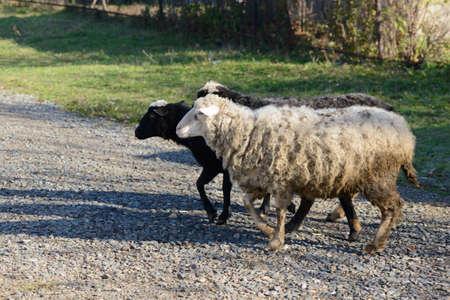 three sheep crosses a rocky path onto a green lawn