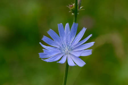 bright blue chicory flower on a green lawn