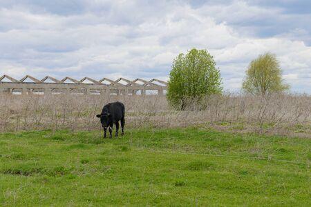 A black calf grazes on a green lawn on a cloudy spring day near the ruins of a farm Banco de Imagens