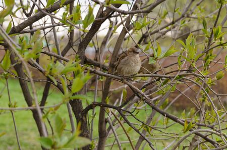 Sparrow sitting on a branch of a bush on a cloudy spring day