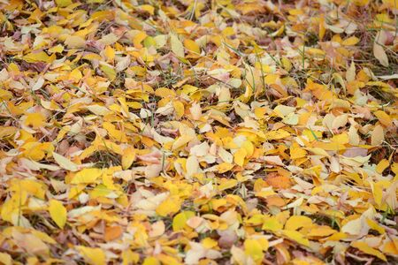 Yellow fallen leaves from the trees lie on the ground Banco de Imagens