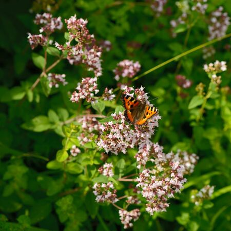 Hive butterfly sits on a flower among green grass