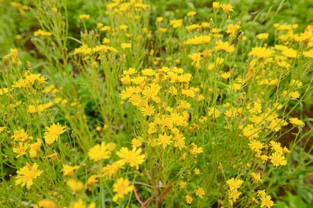 Bright yellow flowers in a green meadow Banco de Imagens