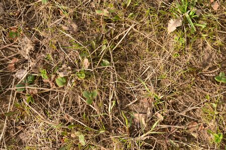 The surface of the earth with old dry grass and new young vegetation