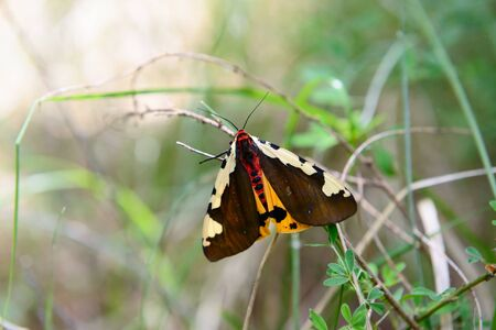 Butterfly, a large moth sits on a twig in the green grass Banco de Imagens