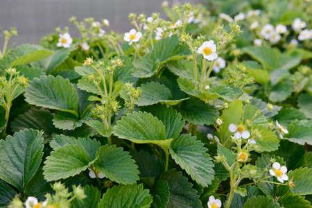 Photo of flowering strawberry bushes in the garden Banco de Imagens