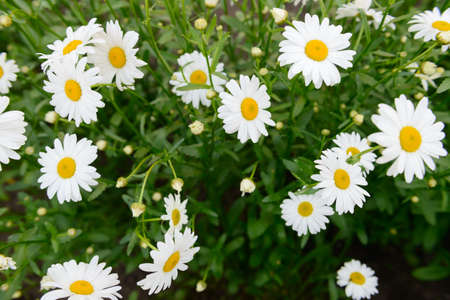 Big white daisies in a clearing. The view from the top. Banco de Imagens