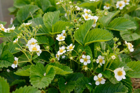 strawberry bush with green leaves and white flowers 版權商用圖片