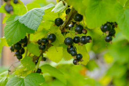 Bunches of ripe blackcurrant berries on the branches