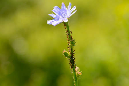 Many insects on the stem of the chicory flower 版權商用圖片