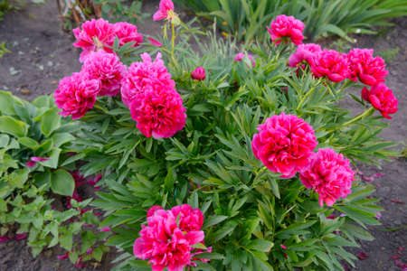 A bush of bright red peonies in the garden in summer