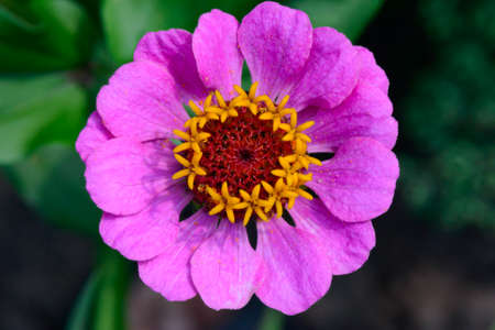 a bright pink cynia flower. Top view