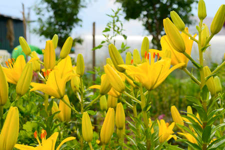 bright yellow lilies in the garden on a sunny day