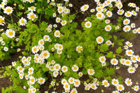 Small-flowered white chrysanthemum, similar to daisies. Top view.