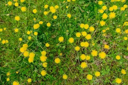 Yellow dandelions on the green grass. Top view. 版權商用圖片