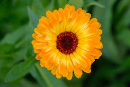 A bright orange marigold flower. Top view. 版權商用圖片