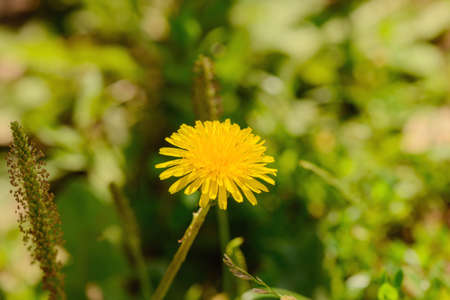 one yellow dandelion flower in a green clearing
