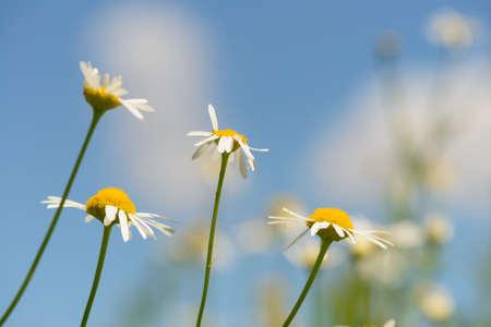 Daisy flowers on stems against a blue sky