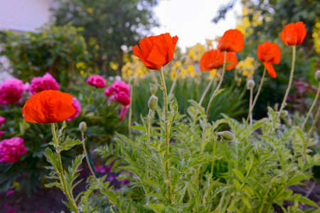 Bright red poppy flowers in the garden in the evening