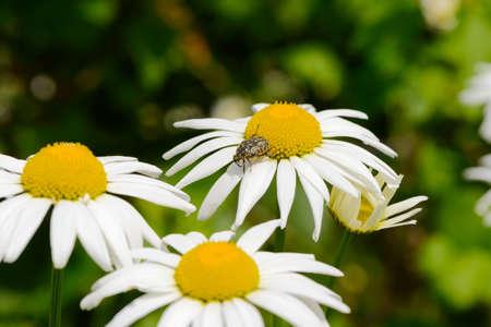 May beetle on a daisy flower on a sunny summer day 版權商用圖片