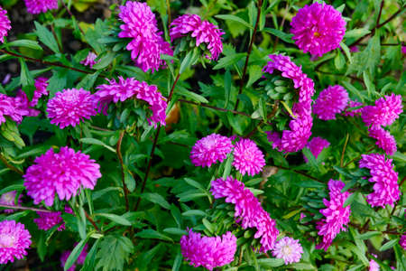 Bright pink aster flowers on a background of green leaves