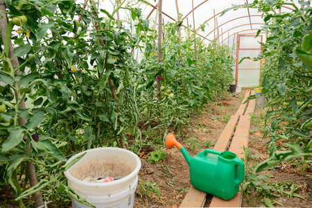 Greenhouse interior with tomato bushes, buckets and watering can